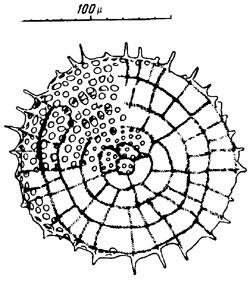 radiolaria org  u0026gt  stylodictya validispina  u0026gt  images